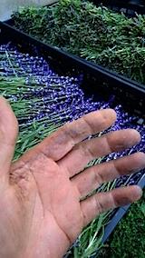 20150616ラベンダーの収穫
