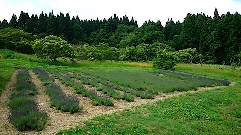 20150617ラベンダー畑の様子1