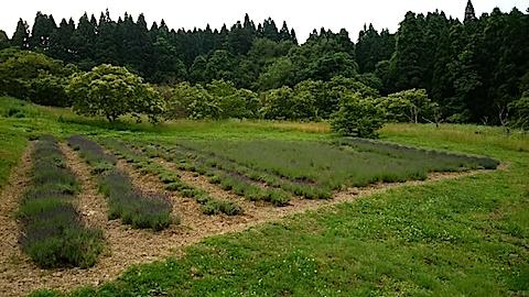 20150617ラベンダー畑の様子2