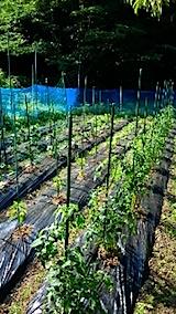 20150618野菜の畑