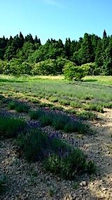 20150618ラベンダーの畑1