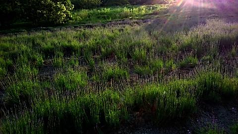 20150618ラベンダー畑の様子