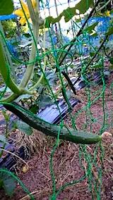 20150707野菜畑キュウリ