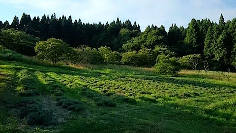 20150710ラベンダー畑の様子