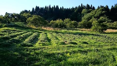 20150712ラベンダー畑の様子1