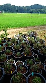 20150713山の入り口の様子鉢植え