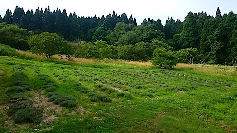 20150713ラベンダー畑の様子