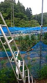 20150713野菜畑のネット張り1