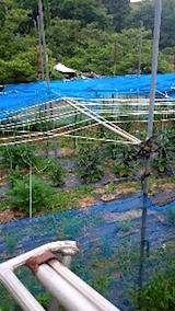 20150713野菜畑のネット張り2