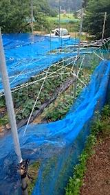 20150713野菜畑のネット張り4