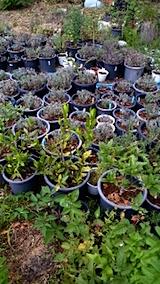 20150714鉢植えの様子