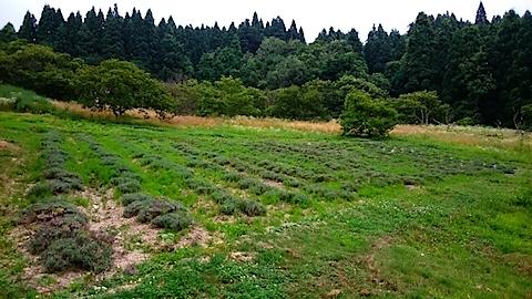 20150714ラベンダー畑の様子