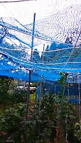 20150714野菜畑のネット張り2