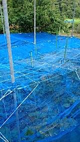 20150715野菜畑のネット張り2
