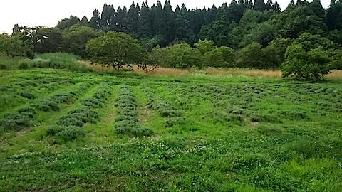 20150715ラベンダー畑の様子