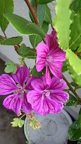 20150716ウスベニアオイの花