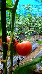 20150802野菜トマト
