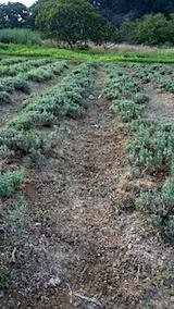 20150802ラベンダーの畑草取り途中1