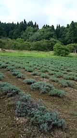 20150819ラベンダーの畑1