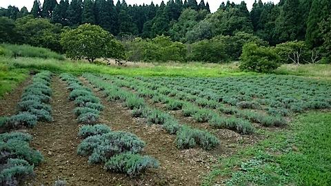 20150819ラベンダー畑の様子1