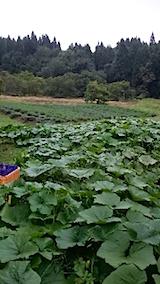 20150904カボチャとラベンダーの畑