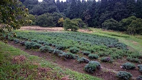 20150904ラベンダー畑の様子