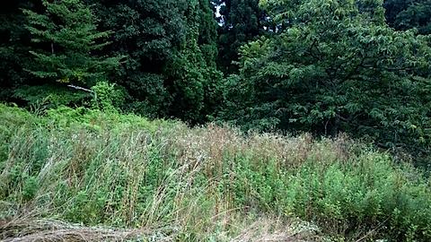 20150905栗畑の草刈り前の様子1