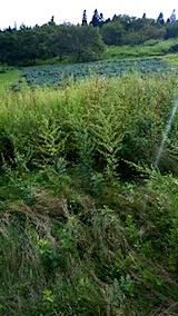 20150905栗畑の草刈り前の様子11