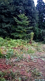 20150905栗畑の草刈り後の様子1