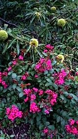 20150905サルスベリの花