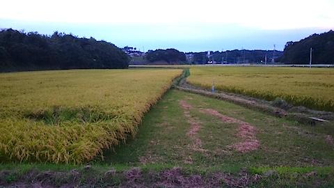 20150905山からの帰り道の様子田んぼの稲穂3