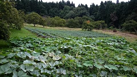20150910カボチャとラベンダーの畑2