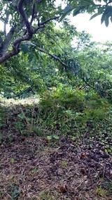 20150911栗畑の草刈り前の様子1