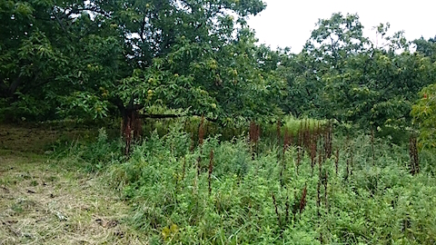 20150911栗畑の草刈り前の様子