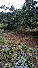 20150911栗畑の草刈り後の様子8