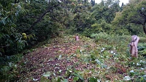 20150911栗畑の草刈り後の様子