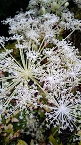 20150911ニオウサクの花