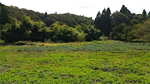20151008ラベンダー畑の様子