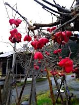 151129_130722花梅の花?