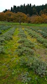 20151107昨日収穫刈り込みが済んだラベンダーこいむらさき