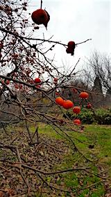 20151203山の様子柿