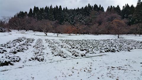 20151204ラベンダー畑の様子1