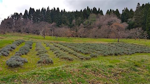 20151205ラベンダー畑の様子1