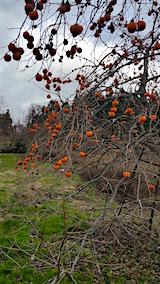 20151205山の様子柿の木