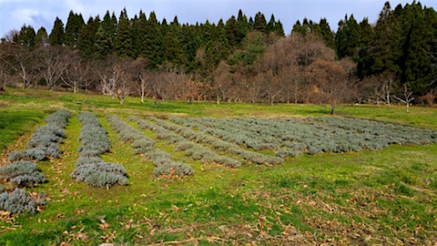 20151206ラベンダー畑の様子1