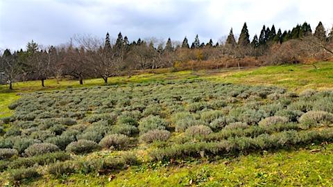 20151206ラベンダー畑の様子2