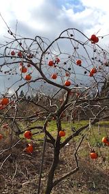 20151206山の様子柿の木