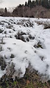 20160109雪をかぶったラベンダー