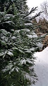 20160111杉の枝に付着する雪