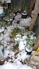 20160111鉢植えに雪やり
